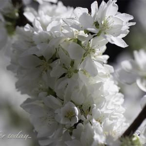 ★ ルビーやパールのようなユスラウメの果実と花 ★