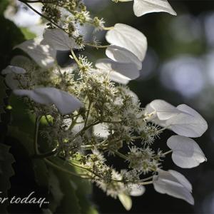 ★ 白い花火は イワガラミ! ★