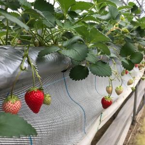 苺摘み体験に行って来ました!