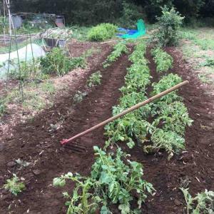 ジャガイモの土寄せと、高菜の植え付け