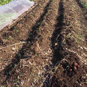 秋ジャガイモを掘る