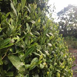 3回目の茶摘み製茶、夕方にジャガイモの土寄せ