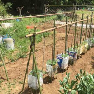 トマトの支柱立てと畑物置の棚作り