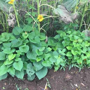 サツマイモ追加1畝植え付けと蔓返し