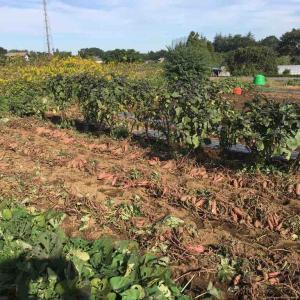 畑遊び再開は芋回収とそら豆種蒔きから