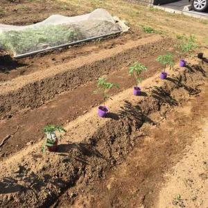 トマトは寝かせて植える