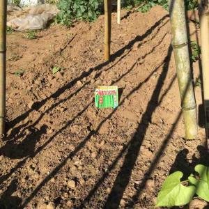 インゲン豆とオクラの追い蒔き