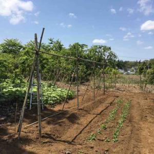 大薯の支柱を立てて、ジャガイモの土寄せ