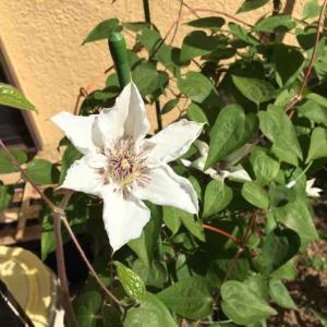カザグルマが開花して、サツマイモ高畝を作る