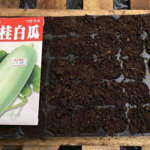 桂大白瓜の種を蒔く