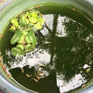 メダカ鉢の水替え