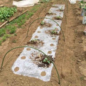 白ハグラウリ苗定植と青ハグラウリ種蒔き