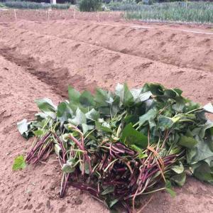 サツマイモ苗蔓120本ほどを植える