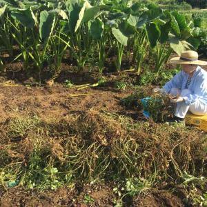 ツマノテを借りておおまさり収穫