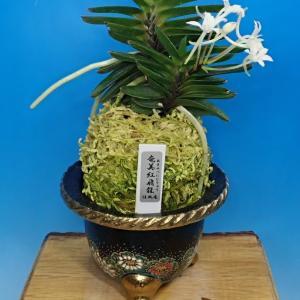 『「奄美紅飛龍の花」見たい!』今年7月の「奄美紅飛龍の花」と「来室者の様子」と「頂き物」と「福四ちゃんの様子」を紹介します。
