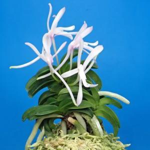 「星宿海(せいしゅくかい)の花」を見せてよ!』風蘭業務では来室者が1名。珍品風蘭の鑑賞。蘭談議。司法書士業務では登記・法律相談。 風蘭の紹介は「星宿海の花」と「福四・福六ちゃん」です。