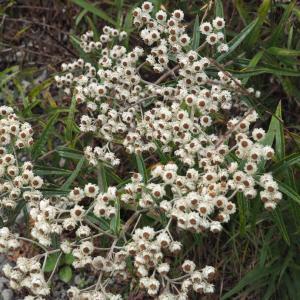 茶臼岳の花