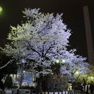 僕の好きな桜 その1