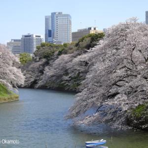 【定点撮影】千鳥ヶ淵の桜 2017