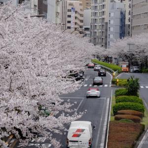僕の好きな桜 その2