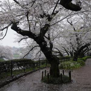 千鳥ヶ淵の桜 2020