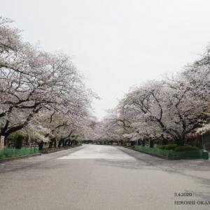 上野公園の桜 2020