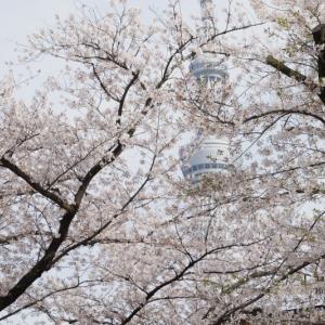 【定点撮影】浅草の桜とスカイツリー