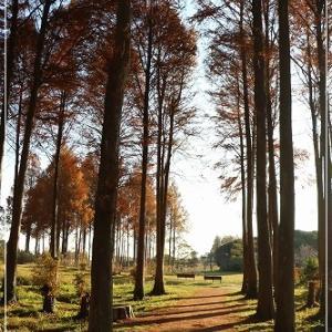 2020年 紅葉散歩 ・ メタセの森編 その1 ♪ の 日記