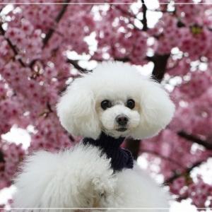 お散歩途中 の 河津桜 ♪ な 日記