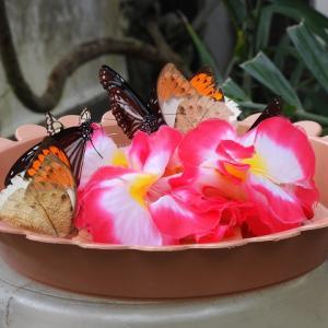 温室の蝶々(足立区生物園)
