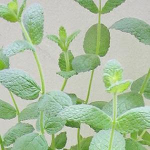 今日のベランダ野菜6月9日  2016 Today's vegetable & herb テントウ虫を探しに