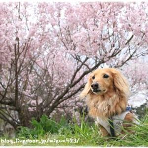 ★色々な桜を見ながらの桜ん歩♪★