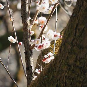 京都府立植物園 -梅-