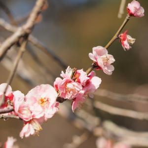 京都府立植物園 -紅梅-