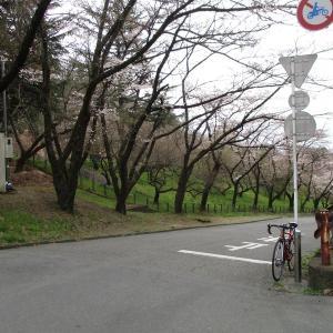 城山湖の桜が開花