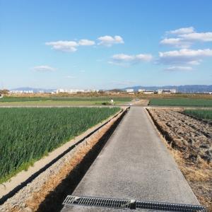 和泉市の見渡す限り玉ねぎ畑