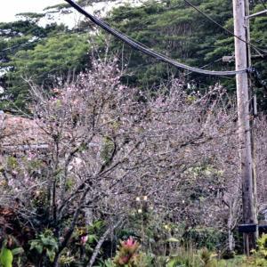 ハワイは桜が咲き始めました!
