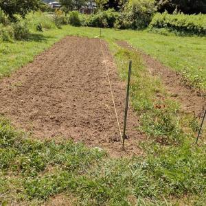 黒豆の植え付け