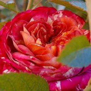 切り花品種ビターラナンキュラとF&Gローズ・あおい♪乳腺外科通院と素敵なプレゼント