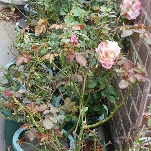 DAミランダ、咲いている花々♪また台風。今度は被害は最小。消費税対策で買ったもの〜