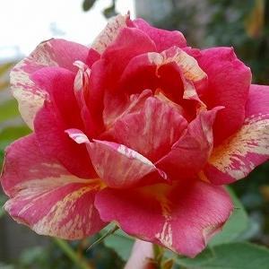 災害続きでも薔薇は咲く!&不実な楽天PEY&献体、申し込みました。