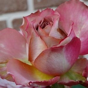 今咲いている秋薔薇&ジェットコースターのようなお天気&認識の差?