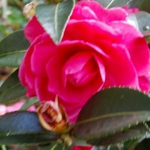師走!薔薇も咲いてるけど山茶花の季節♪&映画「ドクタースリープ」と暴食(笑)