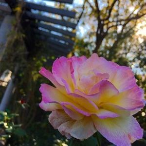 お騒がせしました&薔薇と横浜小旅行とイルミネーション&訃報続き…
