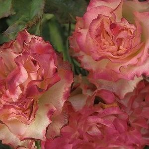 薔薇の里親募集について&心の余裕を取り戻さなきゃ!