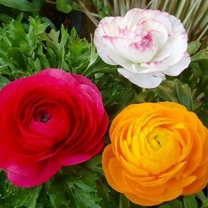 薔薇が無くてもラナンキュラスがあるじゃない!&My funny valentine&脳転移?その後
