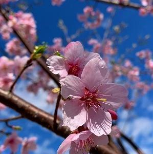 コロナに負けるな!ピクニックで免疫UP!関東でも桜が!ホワイトデーに花を買おう!