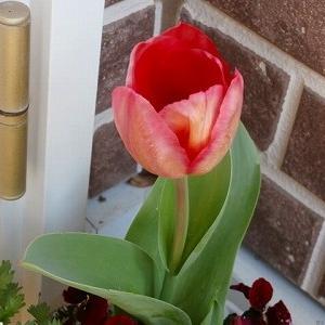 チューリップが咲き始めました!&フライングの薔薇の蕾♪&ジェットコースターのような天気!