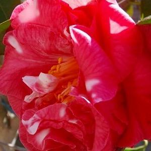 マーガレットディビスが開花!モッコウバラの蕾と一面の菜の花!!ハンドメイドな日々