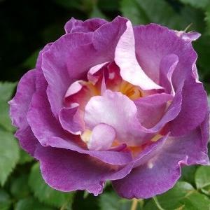 薔薇が次々と咲き始めました。ステイホームでも生産的ではないかも(^^;